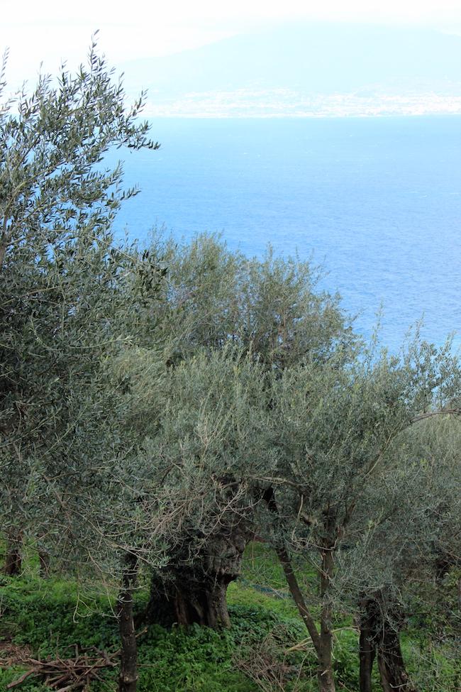 Un olivo plurisecolare