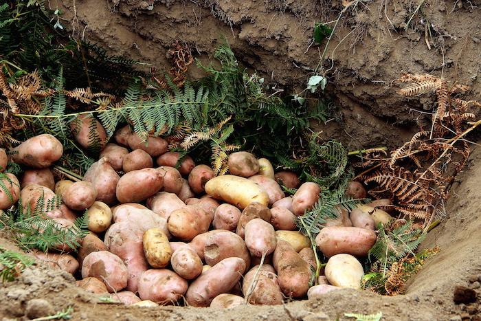 ...vi si adagiano le patate...